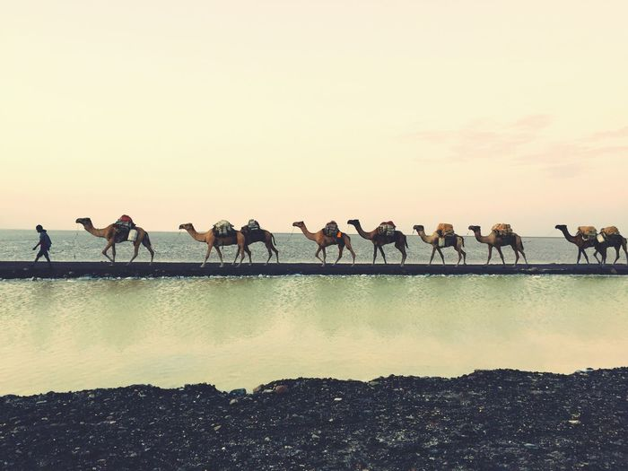 Nomads and Camels All In A Row Danakil Depression Ethiopia Afar Region