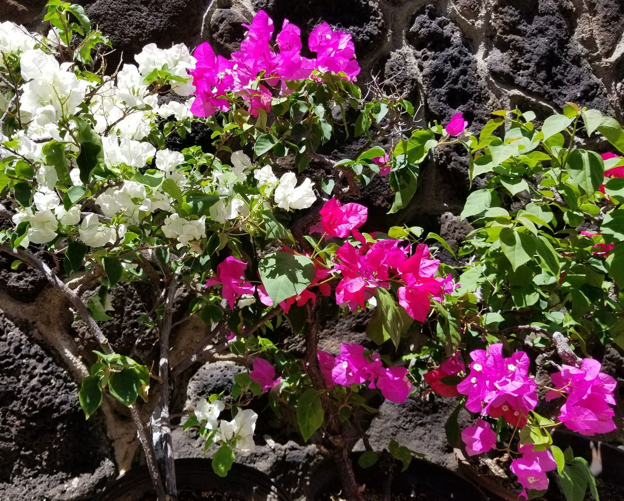 Flower Nature Growth Plant Beauty In Nature No People Fragility Outdoors Day Freshness Pink Color Flower Head Close-up Petunia Bougainvillea Flower Bougainvillea Multi Color Multi Colored
