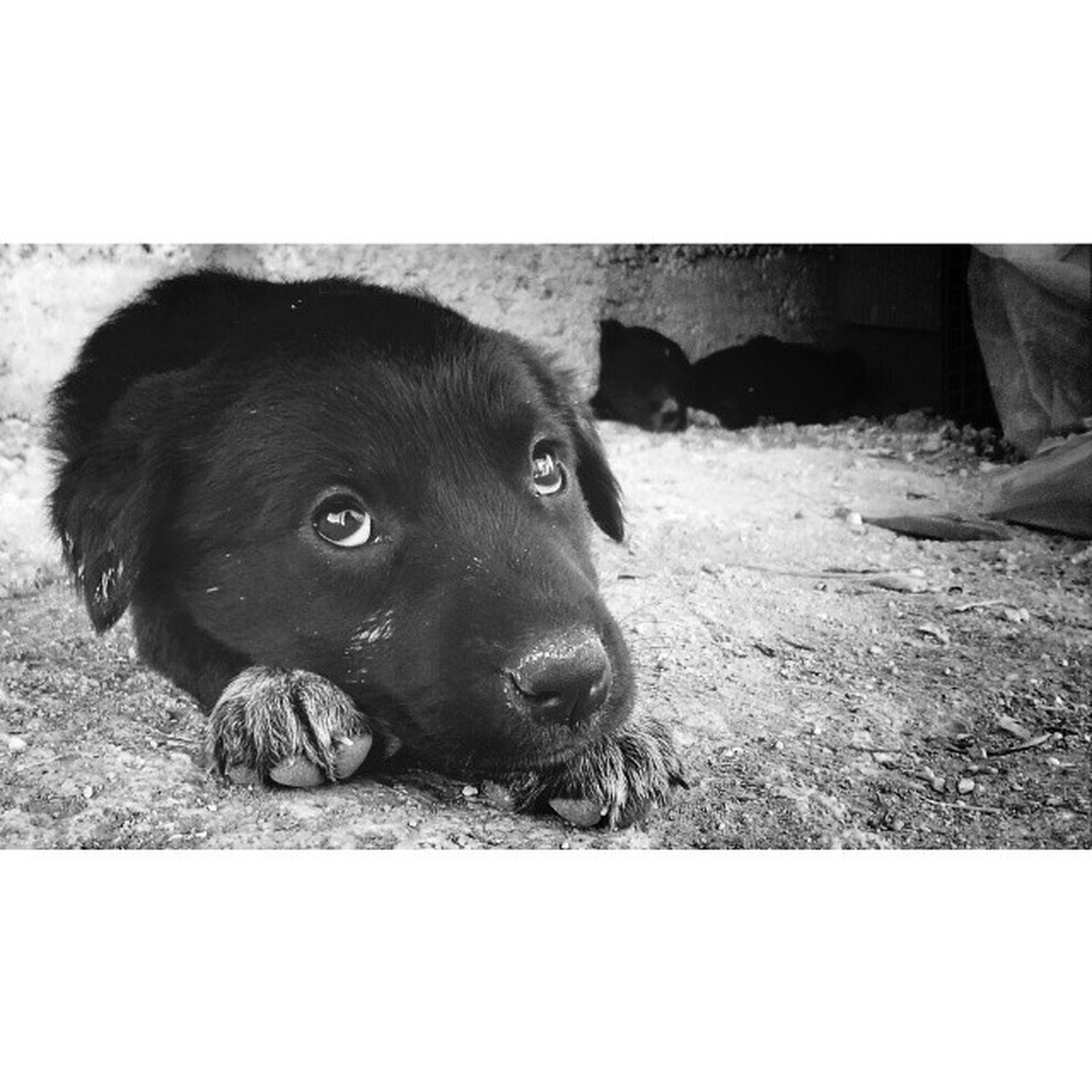 domestic animals, pets, mammal, animal themes, dog, one animal, looking at camera, portrait, transfer print, auto post production filter, relaxation, black color, animal head, lying down, zoology, sitting, close-up, field, resting, no people