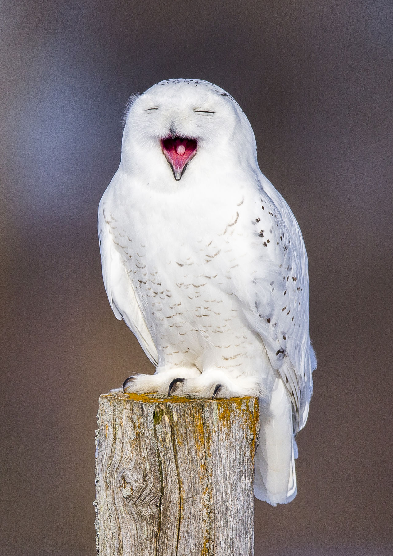 Snow owl posing Animal Themes Animal Wildlife Bird Close-up Day Fence Post Male No People One Animal Owl Snow Owl White Color