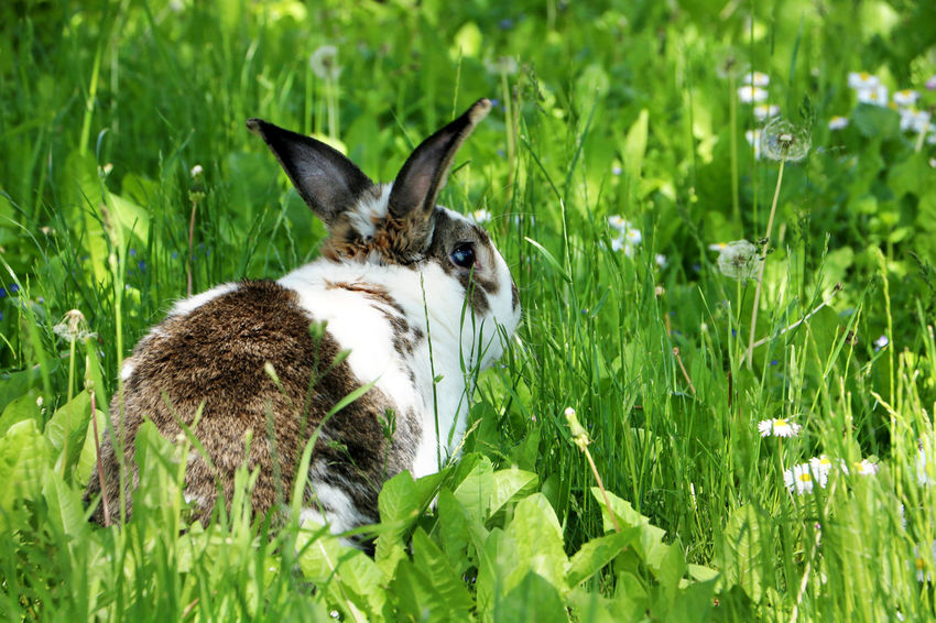 Brown and white rabbit,plant-eating mammal, with long ears, long hind legs, and a short tail, is sitting in the grass Animal Themes Bunny  Close-up Dandelion Day Domestic Animals Easter Field Grass Grass Green Color Mammal Nature No People One Animal Outdoors Pets Plant Rabbit Summer Wildlife