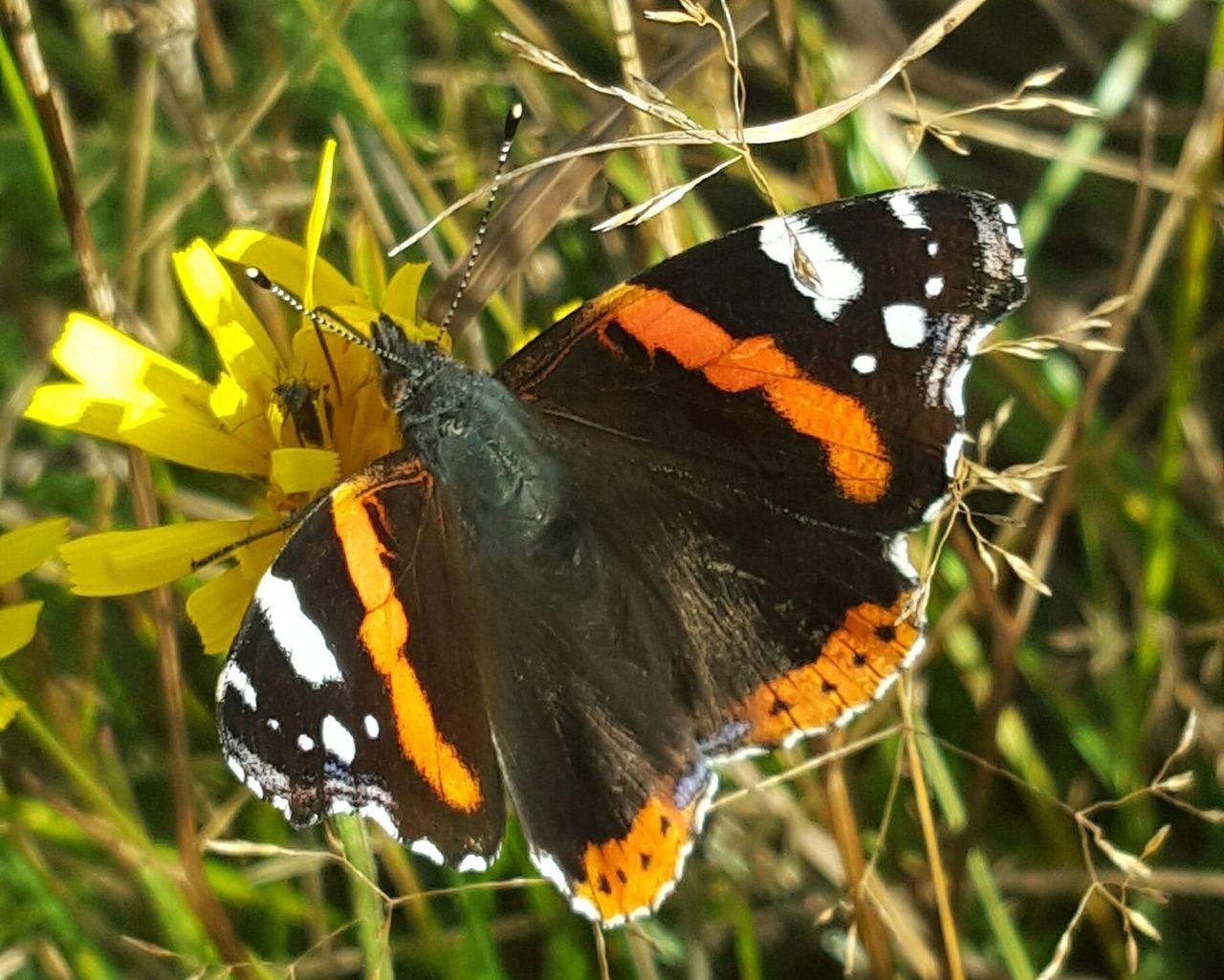 Vensåsseter Norway butterfly