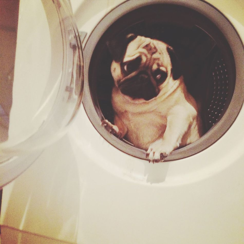 Pug I Love My Dog Dog My Love Chio The Cosmonaut My Smile Is My Happiness. ♡ Hello World Hi! Relaxing