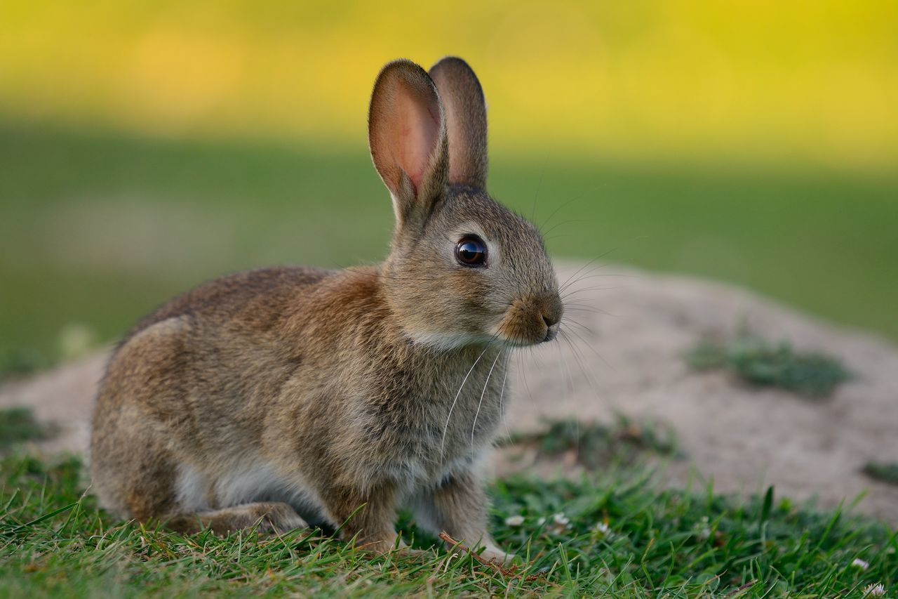 Animal Animal Themes Animal Wildlife Animals Animals In The Wild Beauty In Nature Close-up Cloud - Sky Cute Eye4photography  EyeEm Best Shots EyeEm Nature Lover Focus On Foreground Mammal Nature Nature_collection No People One Animal Outdoors Portrait Rabbit Selective Focus Sitting Taking Photos Wildlife