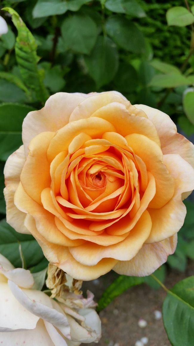 SamsungS5 Nofilter Rose🌹 Limburg Flower Flowers,Plants & Garden Kerkrade Botanical Gardens Rosé Orange