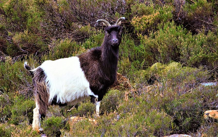 Feral Goat on the Scottish Mountains Animal Themes Mammal Grass Livestock Domestic Animals Field Goat One Animal No People Kid Goat Nature Pasture Outdoors Day