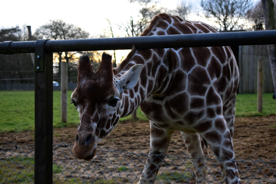 Animal Themes Day Domestic Animals Fence Field Giraffe Giraffe ♡ Giraffes Giraffes! Giraffe♥ Grass Livestock Mammal Nature No People Outdoors Tree