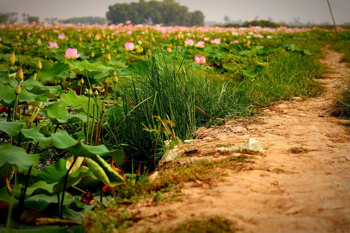 Lotus Field. Cambodia Landscapes With WhiteWall Lotus Flowers Field Of Flowers Dirt Road Way Forward Low Angle View Copy Space Agriculture Minimalism Lotus Farm Livelihood Small Business Fields Travel Photography Nature Landscapes Zen GreenMeditation Relaxation Solitude Tranquility Spring Flowers
