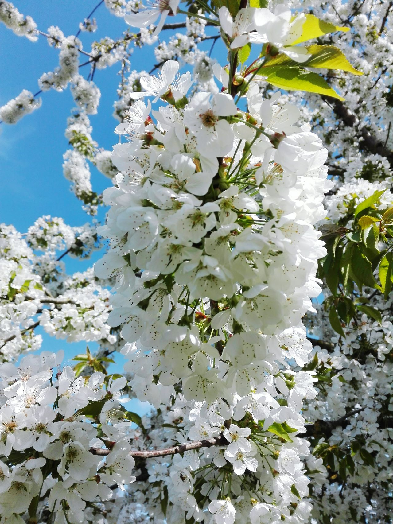 Nature Outdoors No People Beauty In Nature Witeflower Cherry Flowers