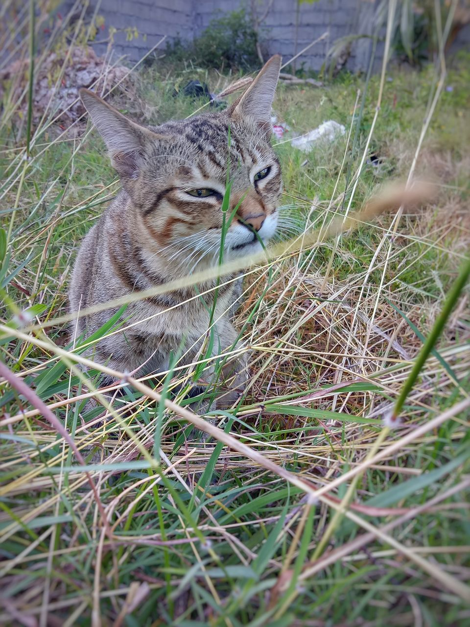 animal themes, domestic cat, one animal, mammal, feline, day, domestic animals, grass, no people, outdoors, pets, nature, close-up