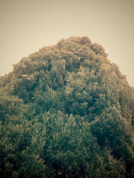 Tree Huge Tree Marii