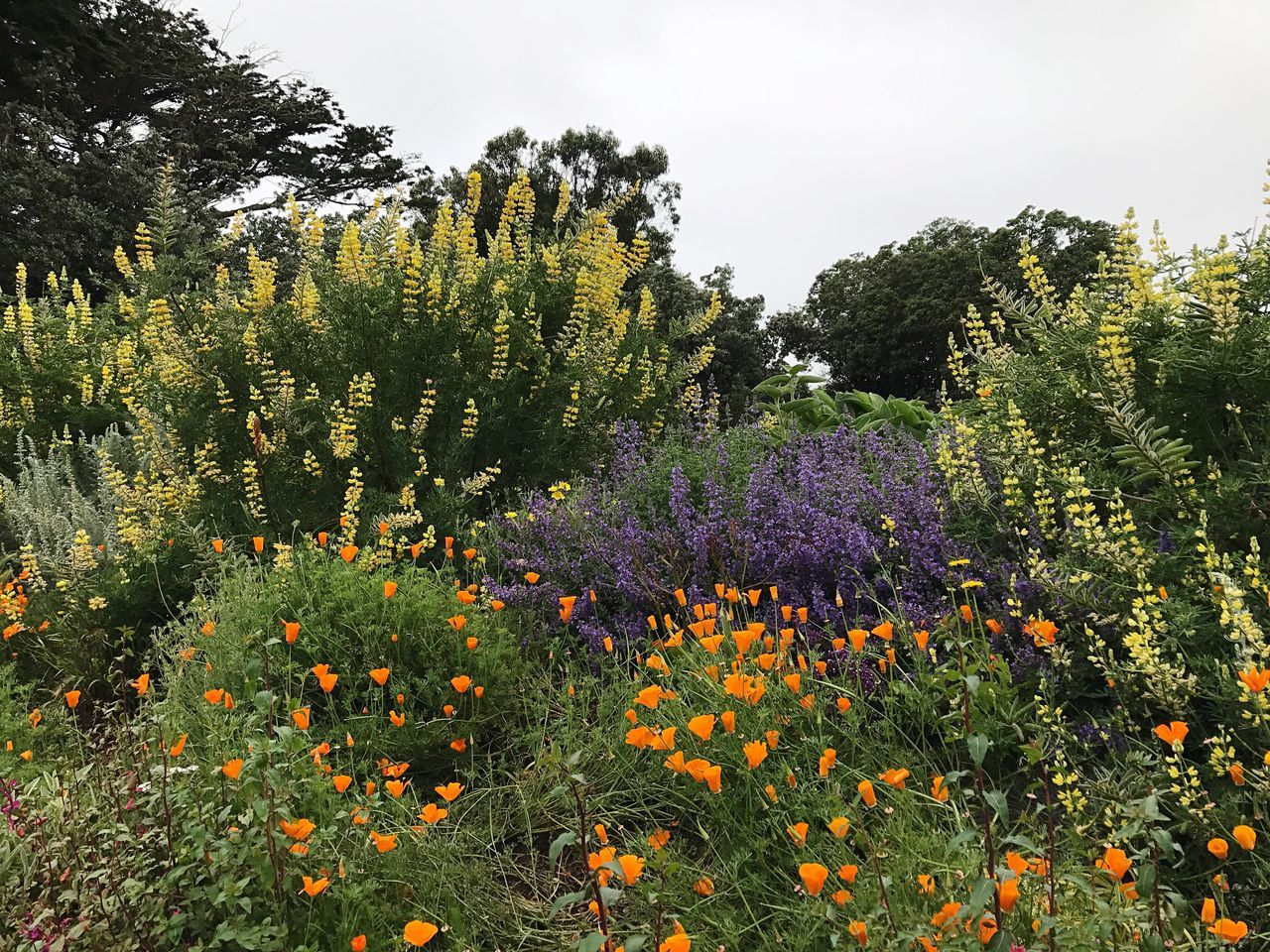 Growth Tree Nature Flower Beauty In Nature No People Plant Field Day Outdoors Sky Freshness Lupine California Poppies