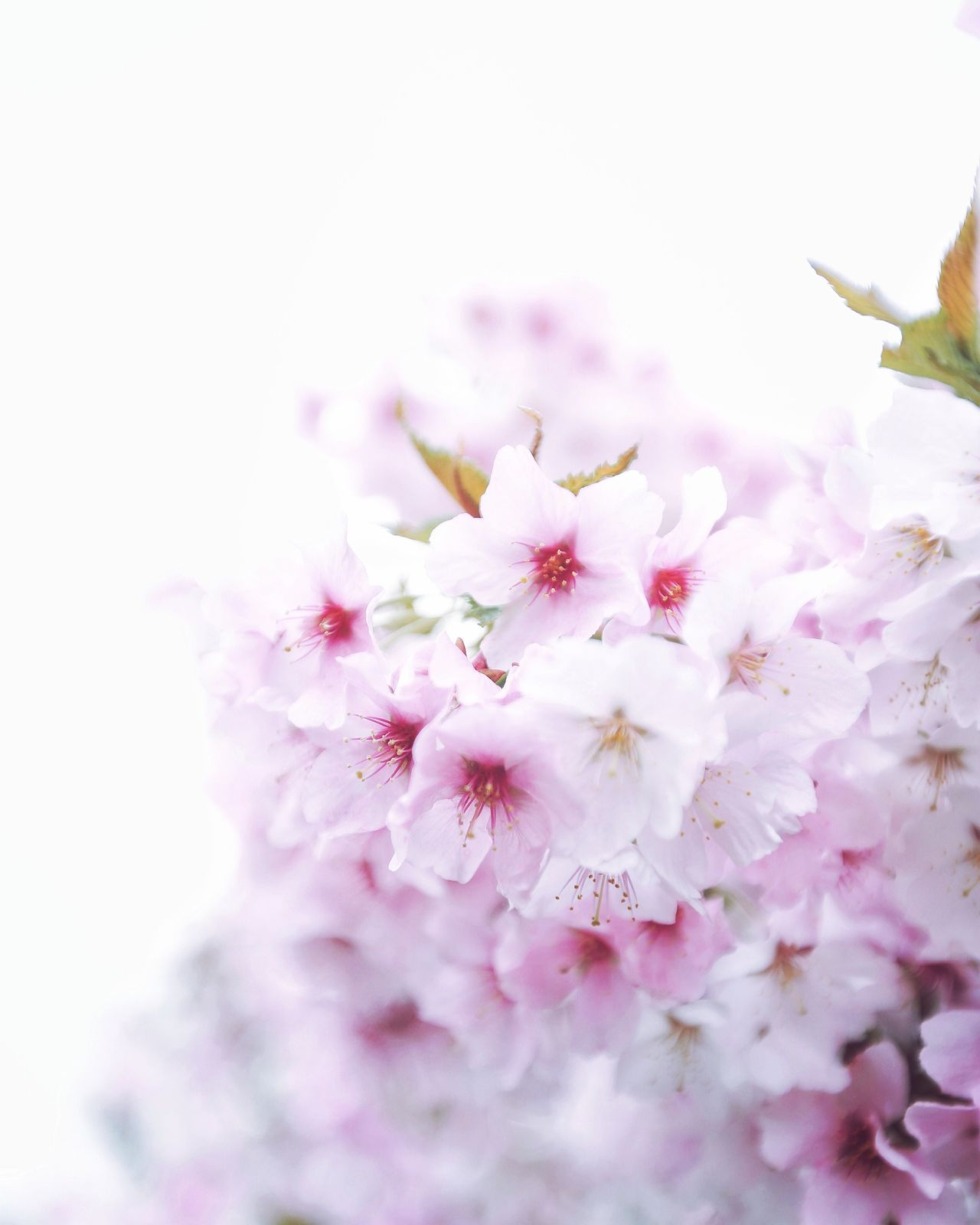Flower Blossom Springtime Fragility Flower Head Nature Pink Color Petal Selective Focus Freshness Softness Beauty In Nature Close-up Plant Growth Pastel Colored Backgrounds Stamen No People Soft Focus Eye4photography  Beauty In Nature Nature EyeEm Best Shots
