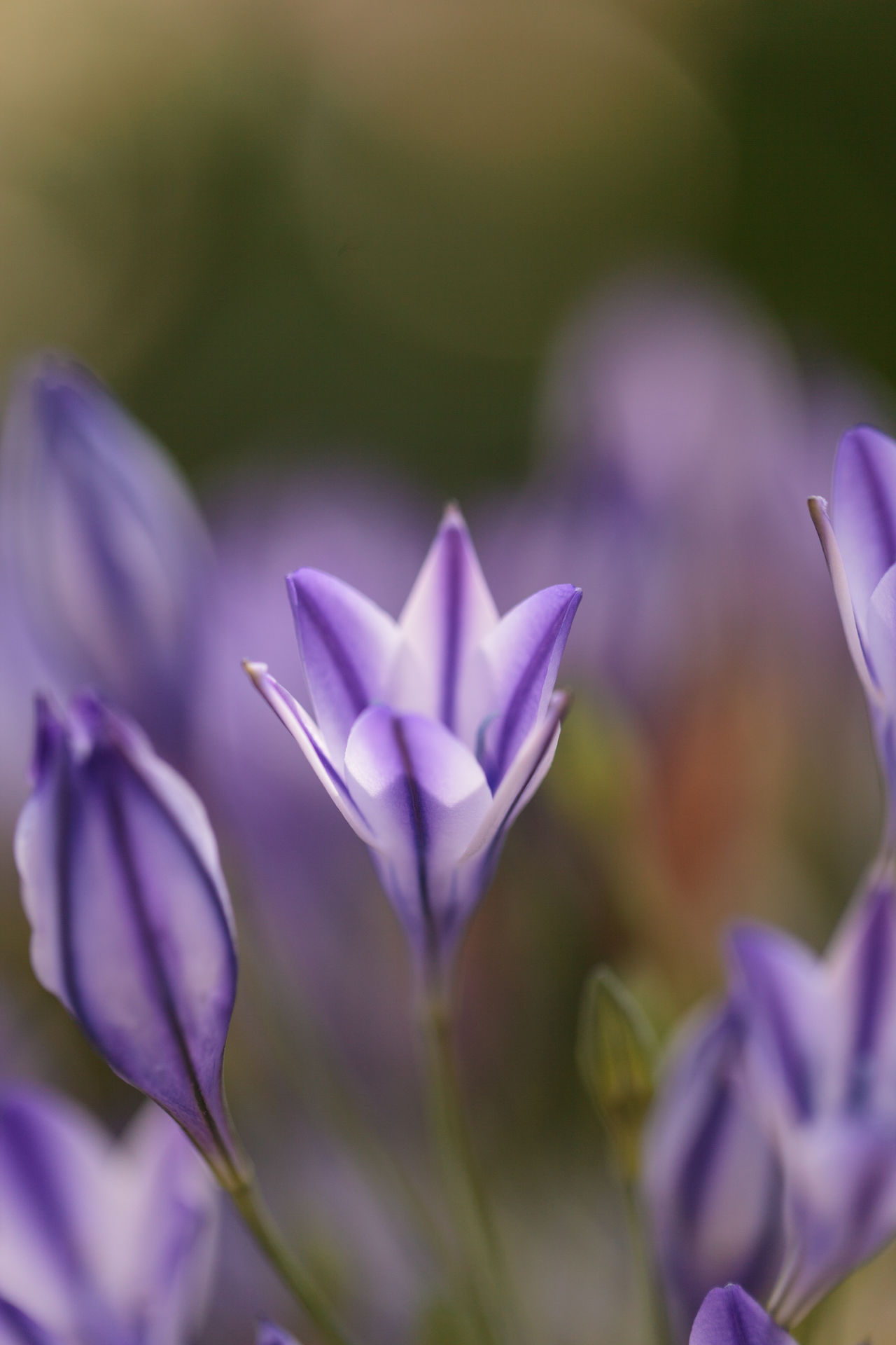 Purple blue Agapanthus flowers bloom on a background of green in a botanical garden in spring. Agapanthus Agapanthus Africanus Beauty In Nature Close-up Crocus Day Flower Flower Head Fragility Freshness Growth Nature No People Outdoors Petal Plant Purple Purple Flower