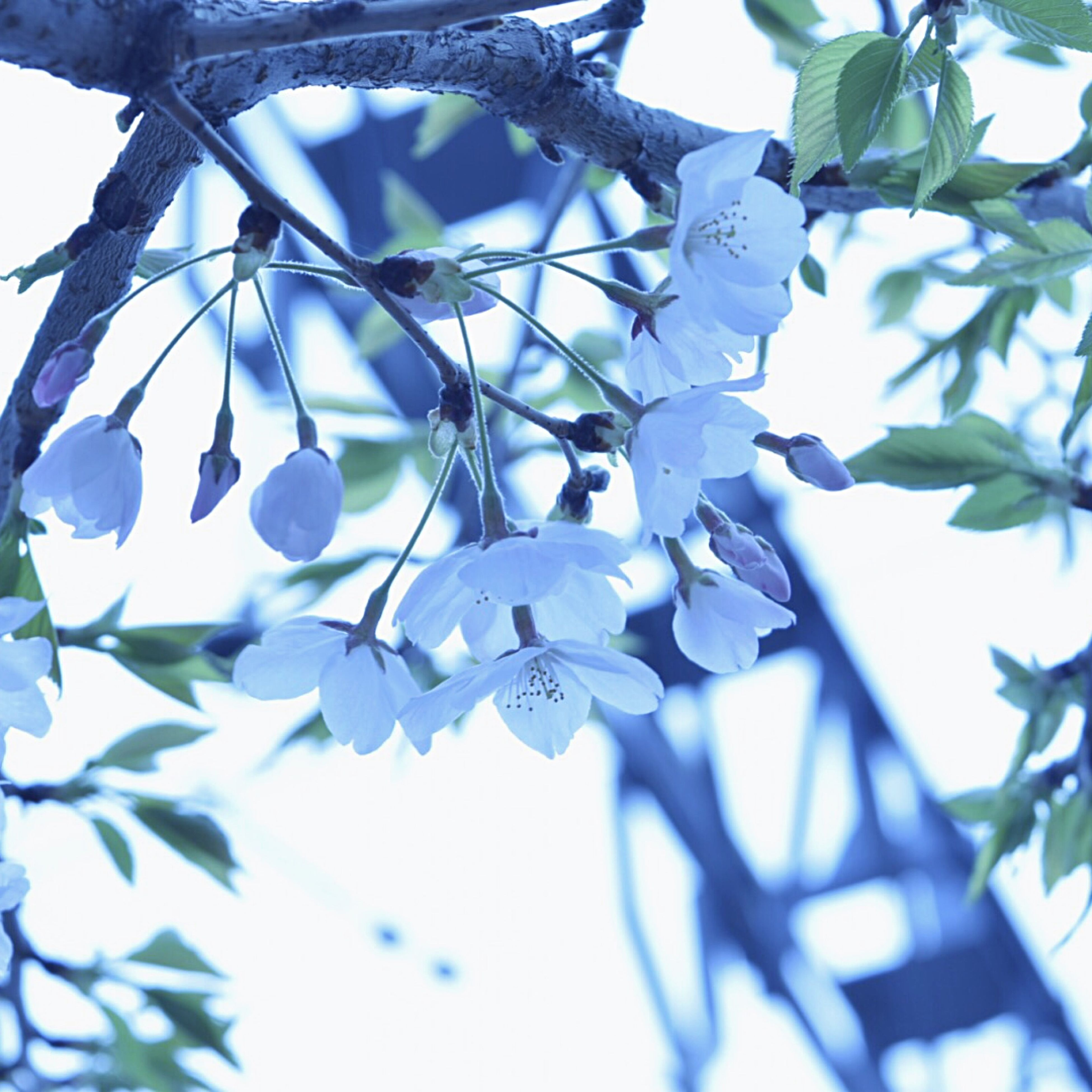 low angle view, branch, growth, leaf, tree, close-up, freshness, blue, nature, focus on foreground, sky, fragility, day, beauty in nature, clear sky, twig, outdoors, no people, selective focus, flower