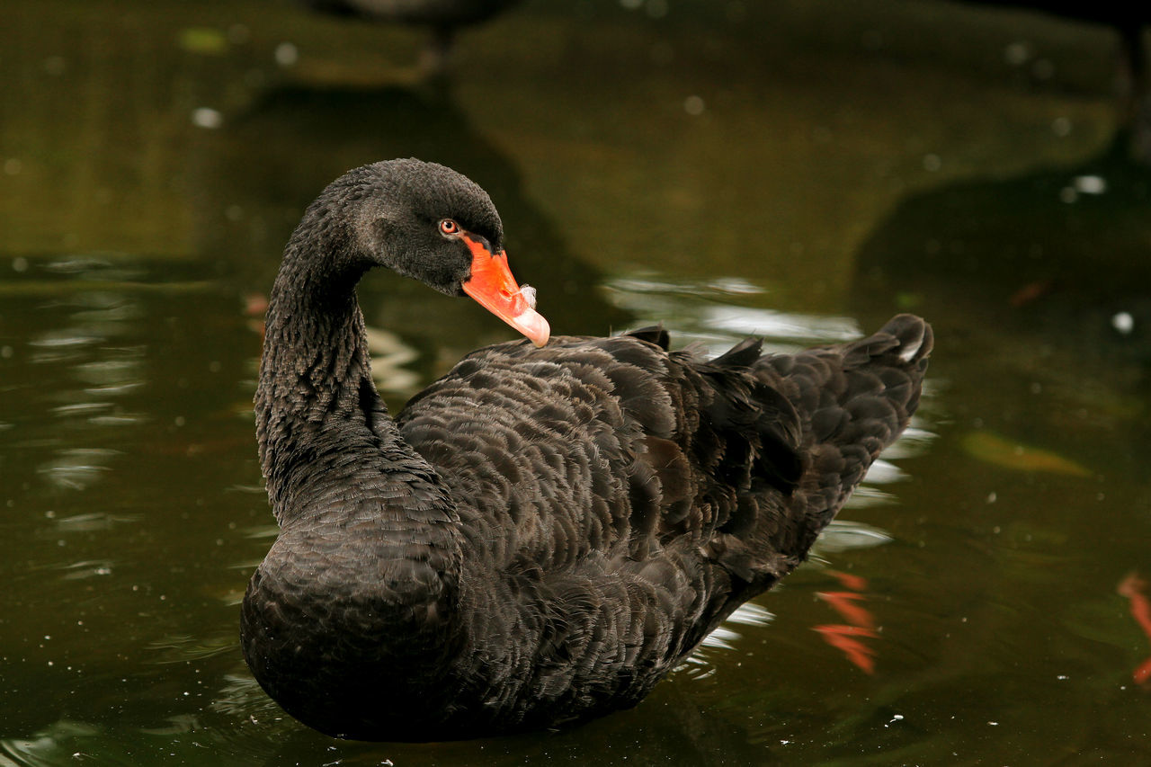 Black Swan Animal Themes Animal Wildlife Animals In The Wild Beak Beuty Bird Birds_collection Black Color Black Swan Black Swan Day Lake Nature No People One Animal Outdoors Pearcing Swan Swans Swimming Theme Water Water Bird Water Front  Waterfront