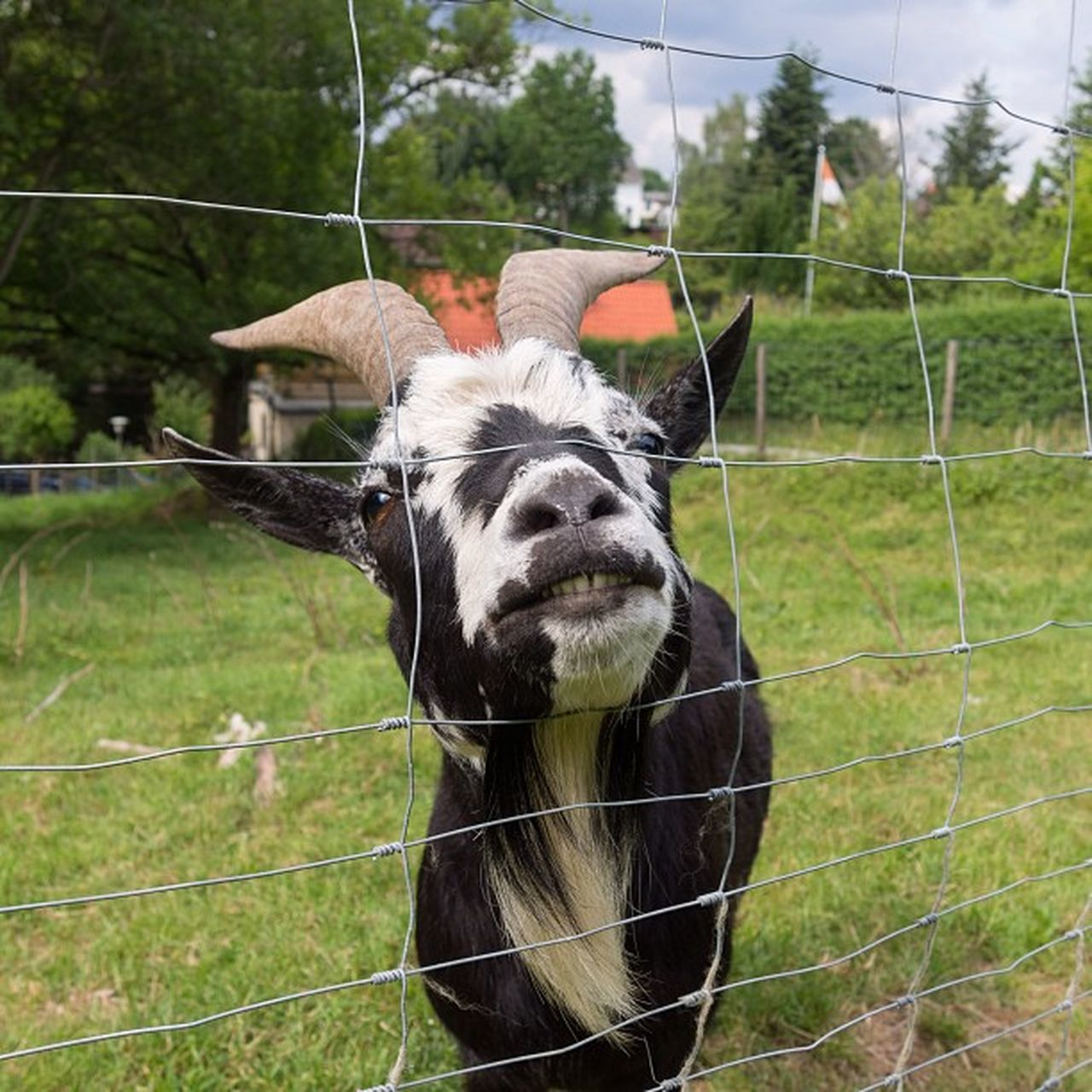 Good morning - have a nice weekend :) Goat Ziege Animal Tiere fauna gras farmanimals teeth zähne horns hörner