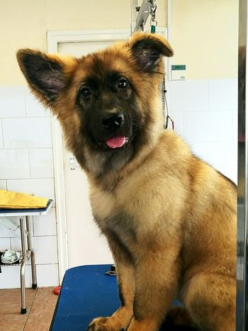 One Animal Dog Animal Themes Pets Mammal Domestic Animals No People Portrait Close-up Indoors  Day Puppy❤ Germanshepherd Alsatian Puppy Face Gorgeous Cute Dog  Cute♡
