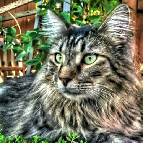 Jojo chillin in the backyard.... HDR Jojo Closeup Cat animal feline