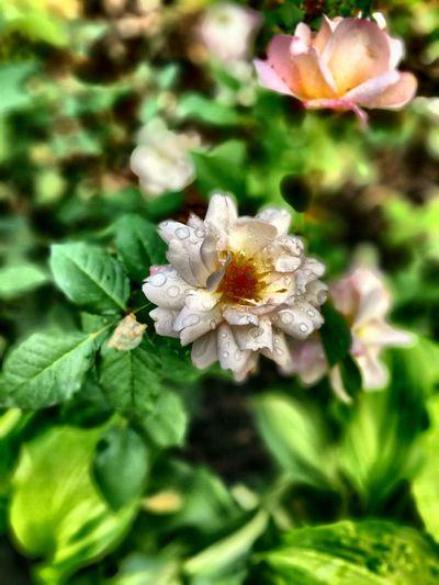 Flower After The Rain Berlin Park Sunday Afternoon Takeawalk  Summer ☀