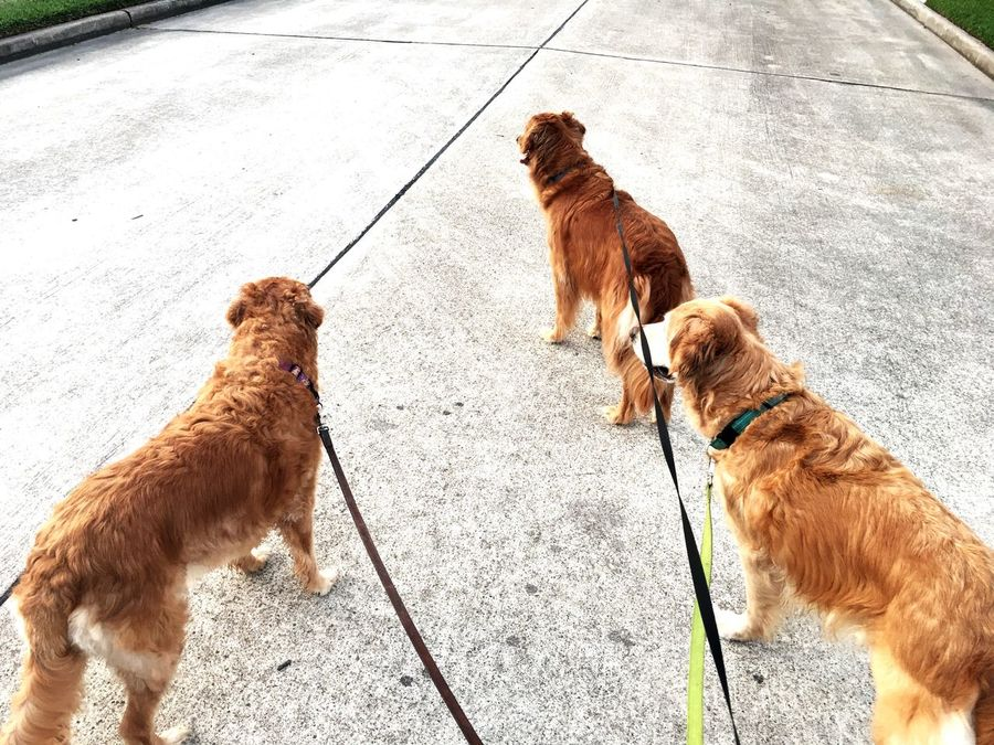 EyeEm Selects Dog Pets Domestic Animals Animal Themes Mammal Pet Leash Two Animals Dog Lead Animal Street Togetherness Outdoors Brown Playing Pet Collar Day Road No People Nature Retriever Goldenretriever