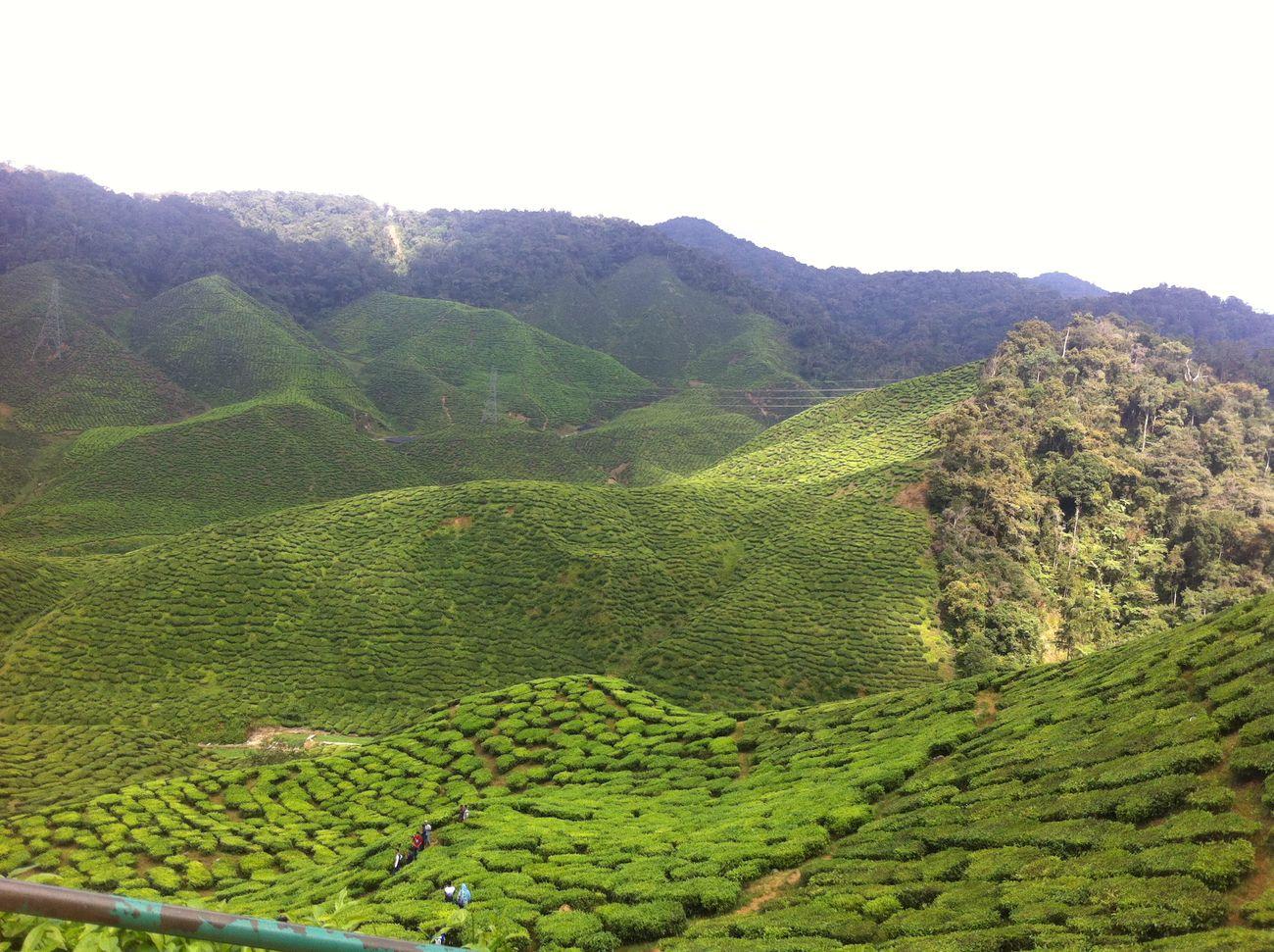 Tea Plantation  Eyemnaturelover EyeEm Malaysia Mother Nature Is Amazing Cameron Highlands