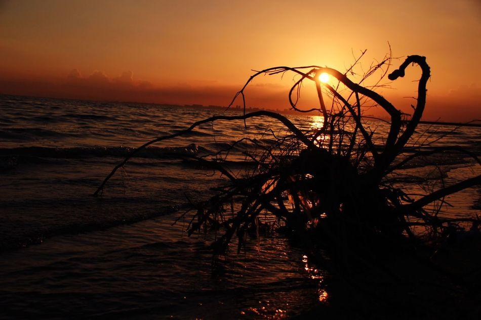 久々の幕張の浜。流木の根シルエット。 Sunset Nature Sea 幕張の浜 流木
