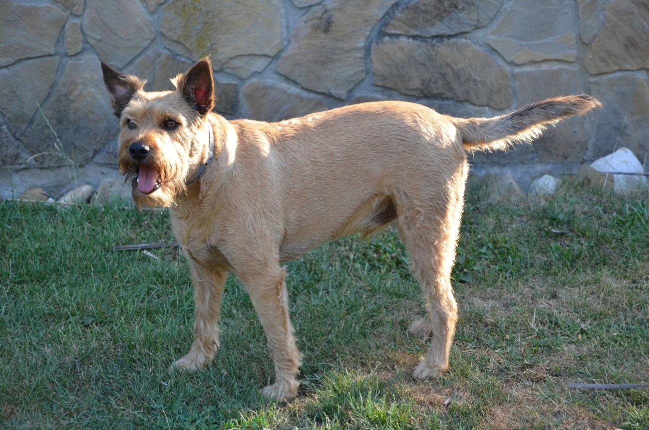 Animal Themes Dog Domestic Animals Hungarian Pumi Mammal One Animal Pets Zoology Csipesz Pumi Snauzer