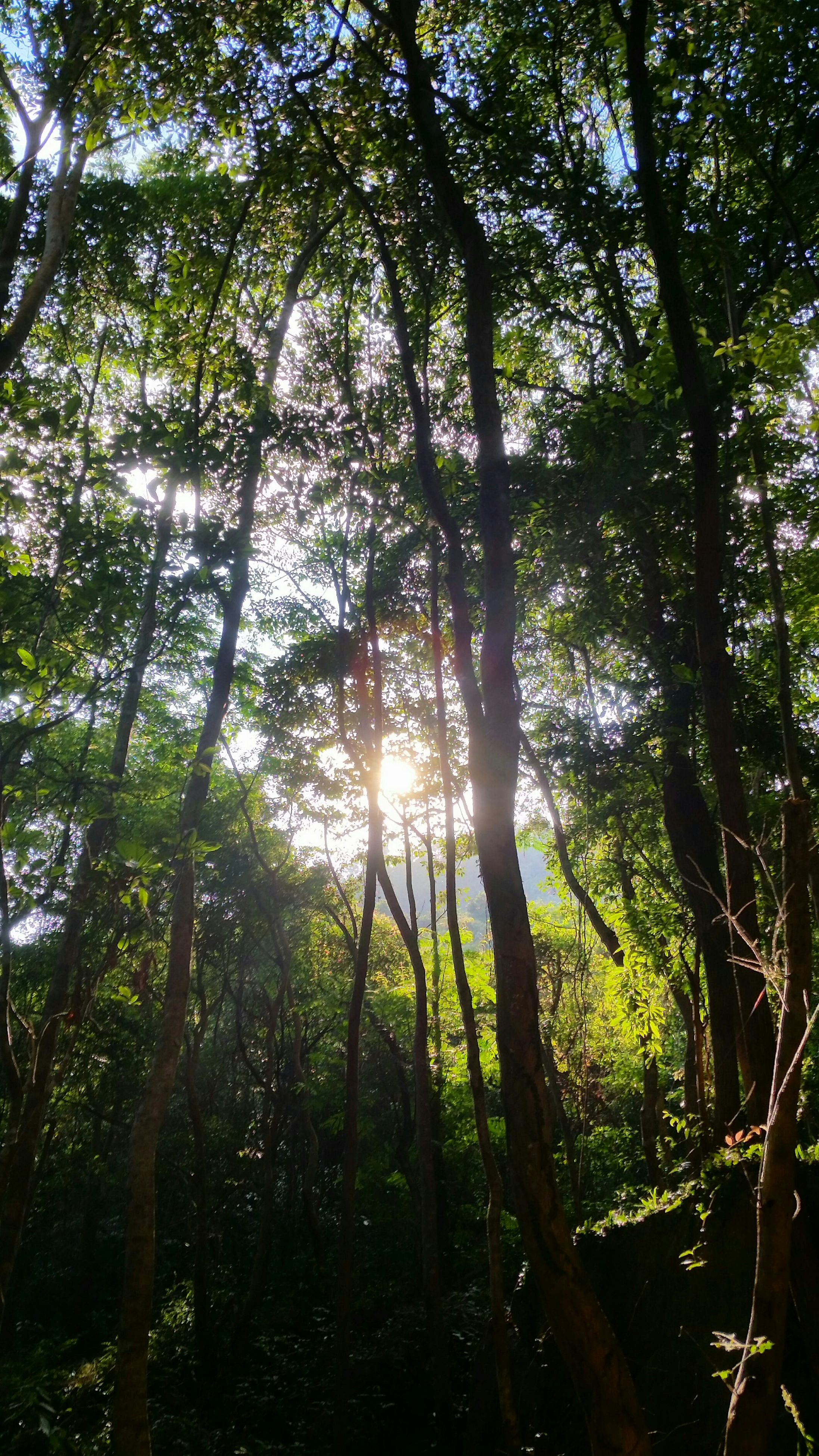 tree, forest, tranquility, growth, tree trunk, low angle view, woodland, nature, sunlight, tranquil scene, sun, beauty in nature, branch, sunbeam, scenics, lens flare, green color, non-urban scene, back lit, no people