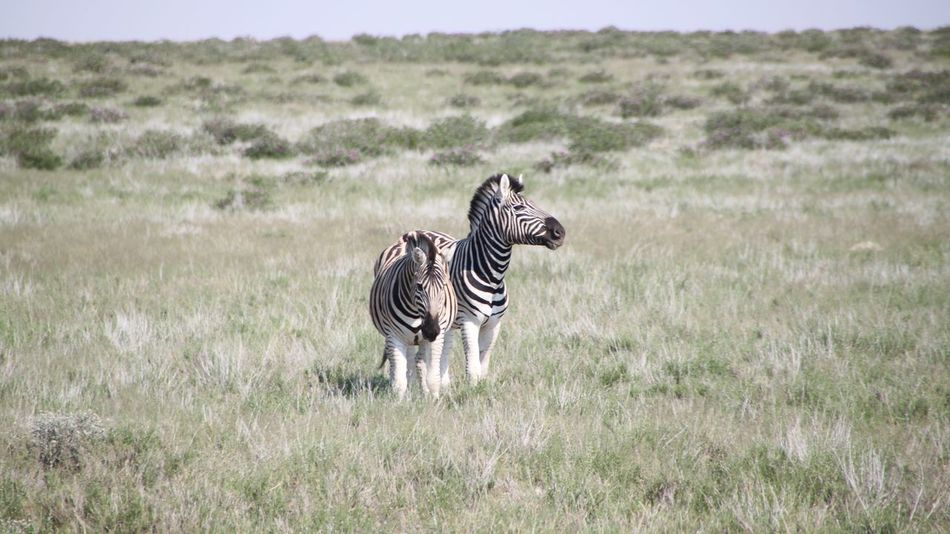 Beautiful stock photos of zebra, Animal Themes, Day, Front View, Grass