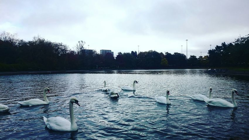 Autumn Daylight A Walk In The Park Pond Swans Trees October2015