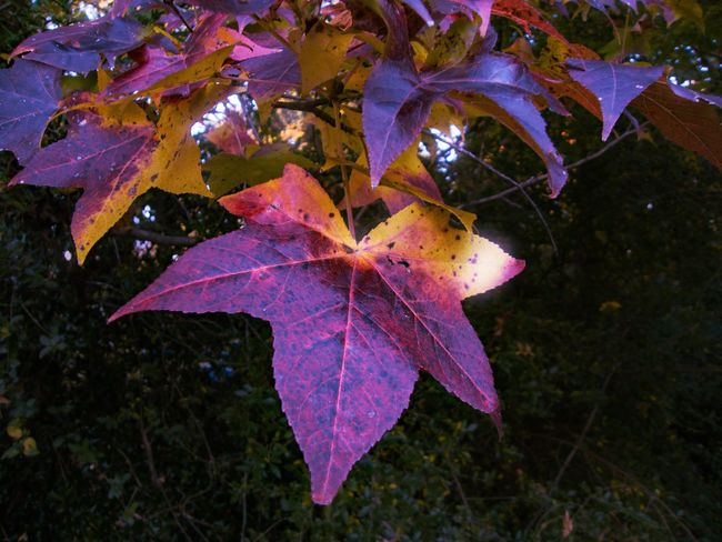 Autumn Beauty In Nature Change Close-up Day Field Fragility Green Color Growth Leaf Leaf Vein Leaves Maple Leaf Multi Colored Natural Condition Nature No People Outdoors Pink Color Plant Scenics Season  Tranquility Vibrant Color