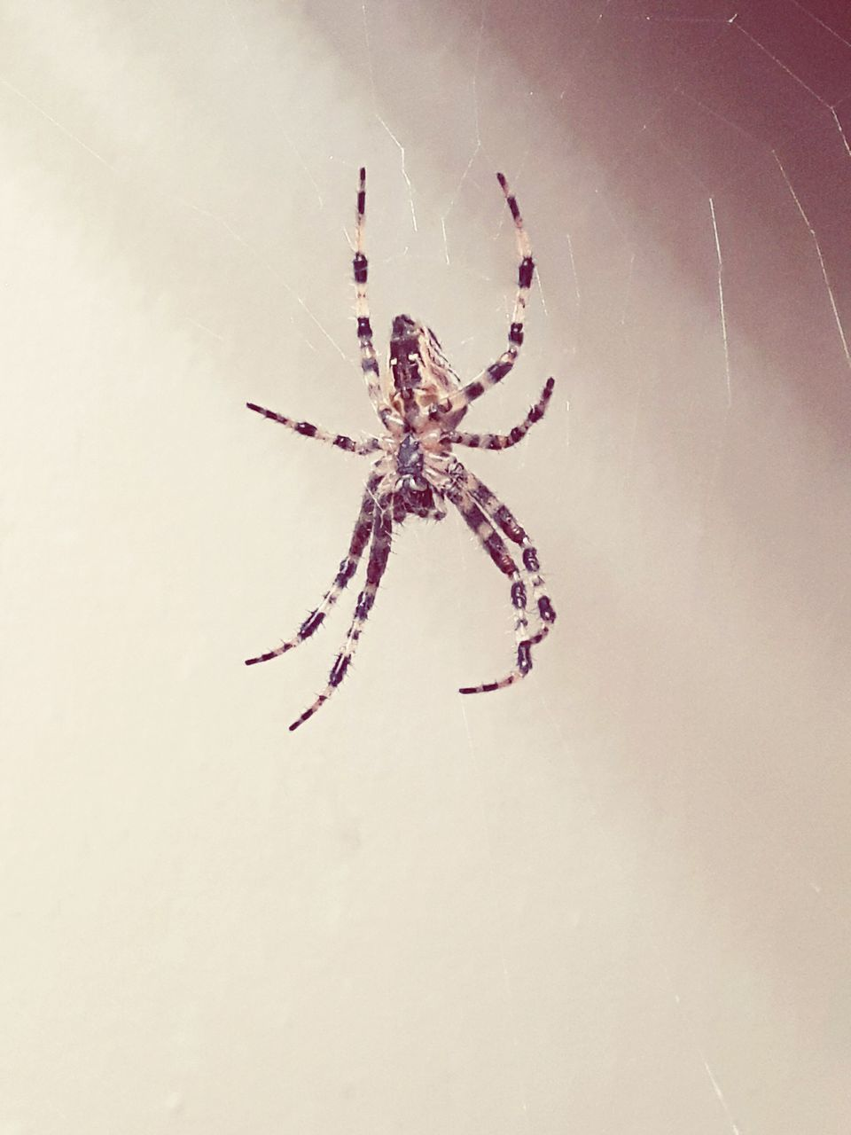 one animal, spider, animal themes, animals in the wild, no people, close-up, day, full length, indoors, nature
