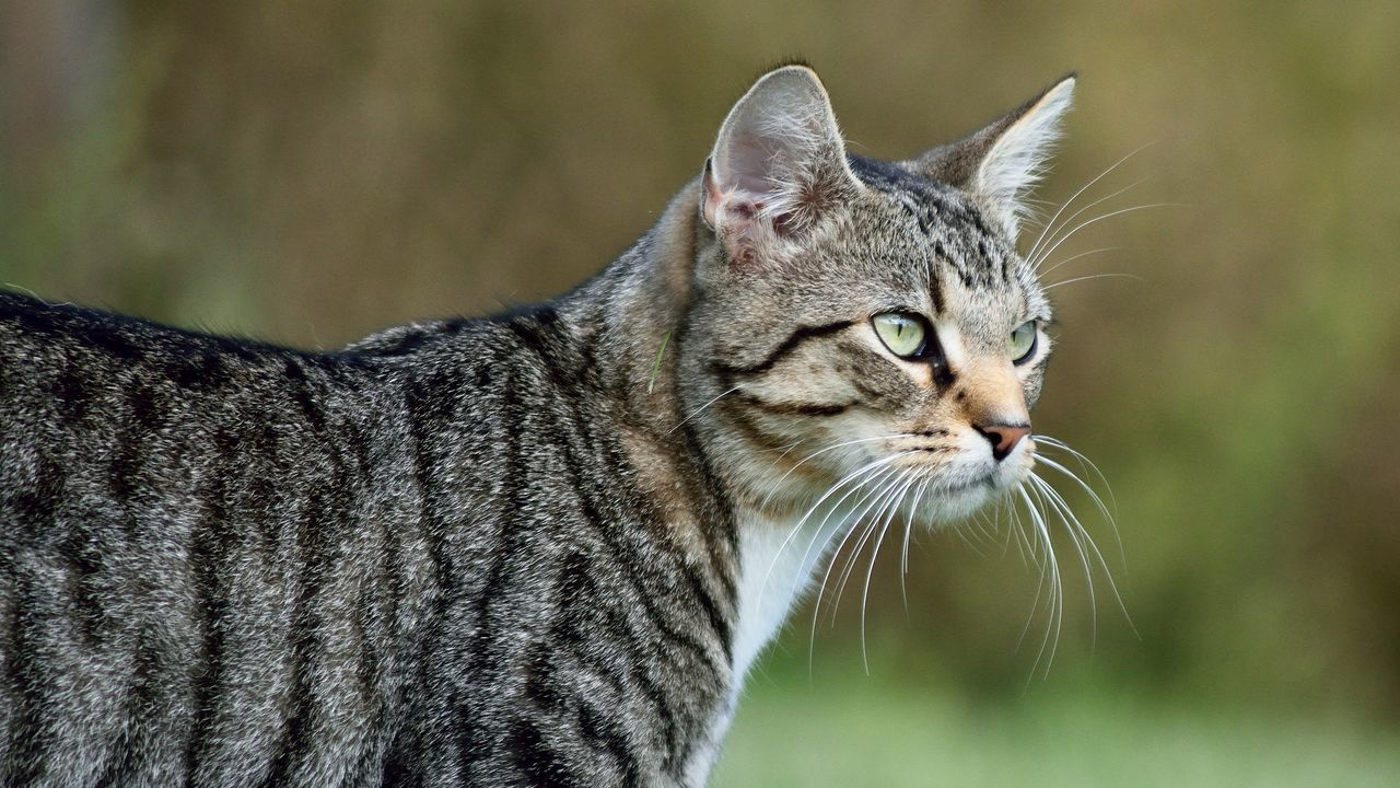 one animal, domestic cat, animal themes, mammal, domestic animals, pets, focus on foreground, feline, whisker, no people, day, close-up, outdoors