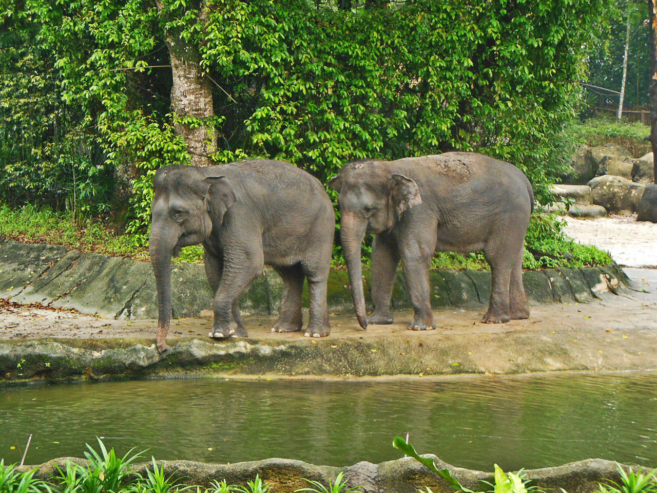 Animal Themes Animal Wildlife DUMBO Elephant Indian Elephant Mates For Life Singapore Zoological Garden Togetherness