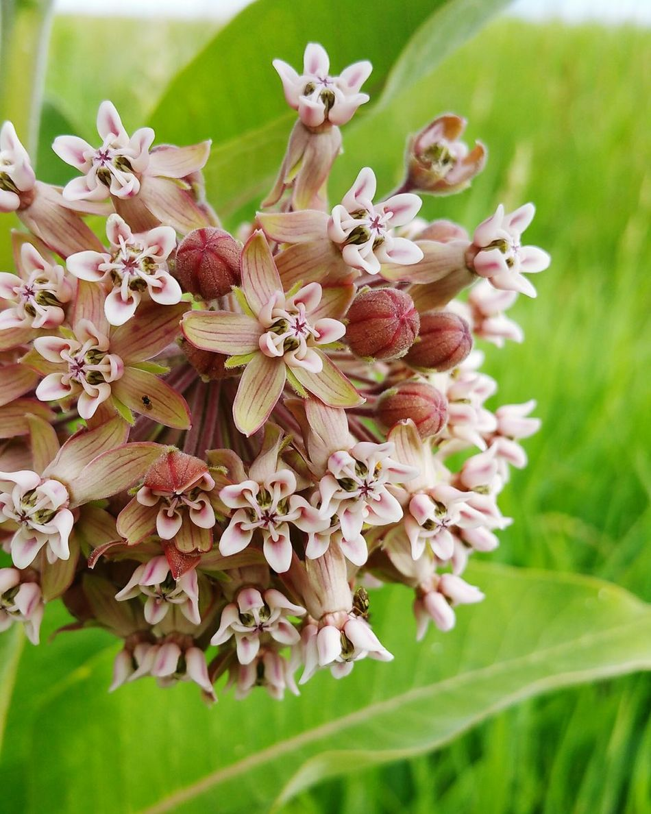 Hello World Check This Out Hanging Out Taking Photos Flowers Flowersofeyeem Flower Collection Flowerporn Flower Photography Milkweed Milk Weed Beauty In Nature Summertime Flowersofsummer Blooming Blooming FlowersRelaxing Enjoying Life Southdakota South Dakota