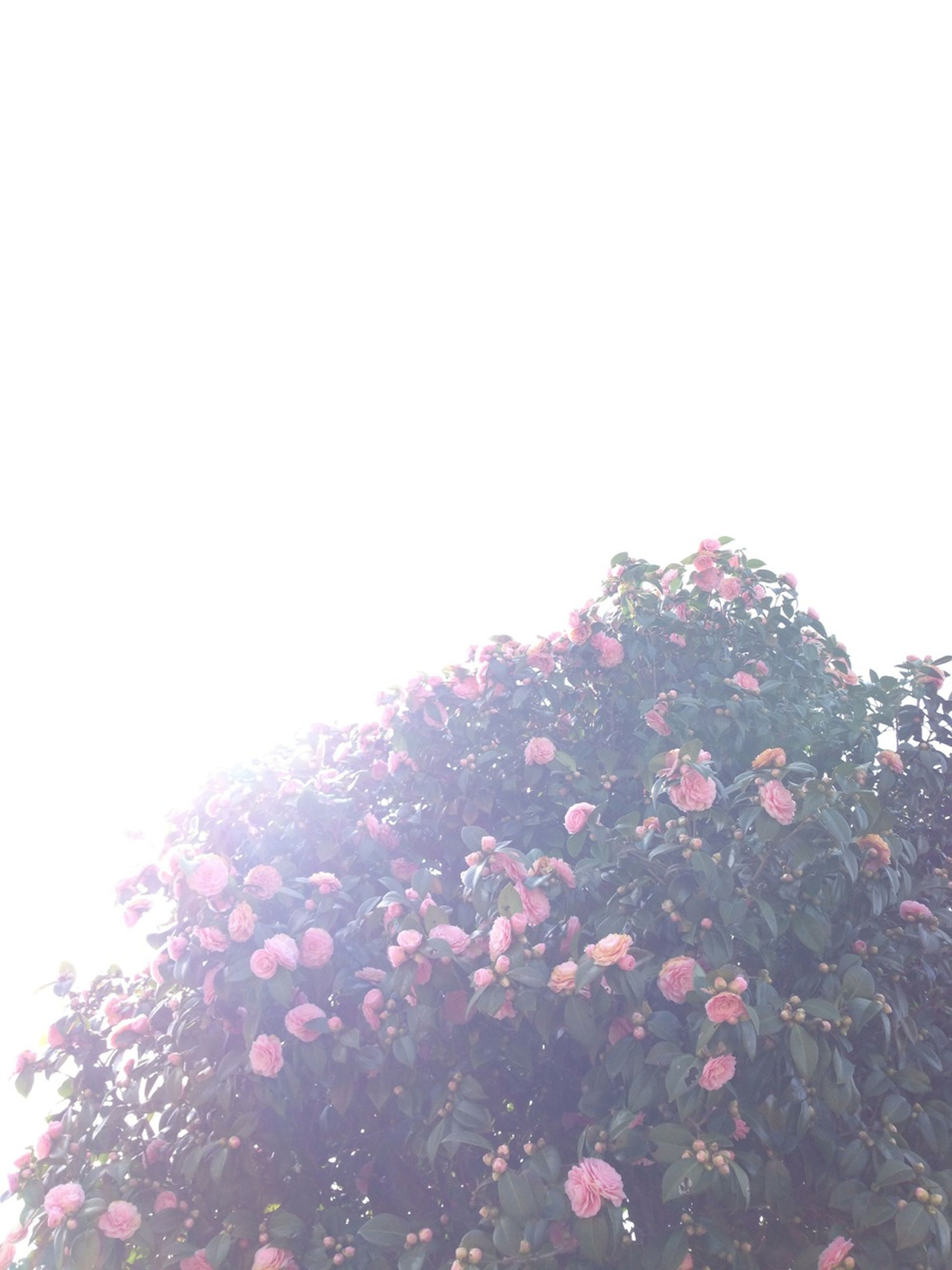 flower, clear sky, beauty in nature, copy space, growth, fragility, freshness, nature, low angle view, petal, blooming, tranquility, tree, sunlight, pink color, plant, outdoors, sun, sky, in bloom