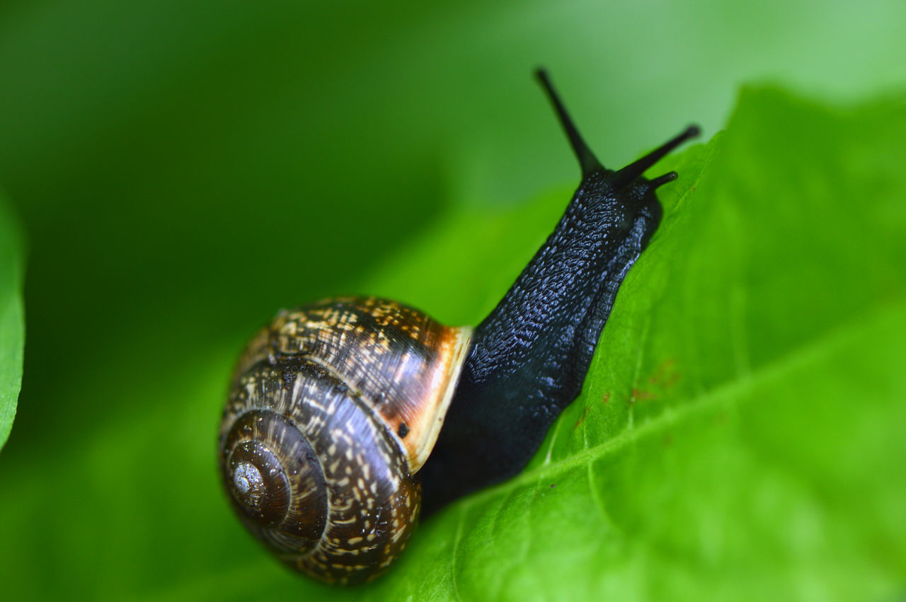 Black snail... One Animal Animal Themes Animal Wildlife Animals In The Wild Leaf Green Color Side View Close-up No People Nature Fragility Outdoors Beauty In Nature Snail Snails Snail Shell Shell Macro Macro Photography Freshness Mollusca Simplicity Pattern In The Forest Rainy Days