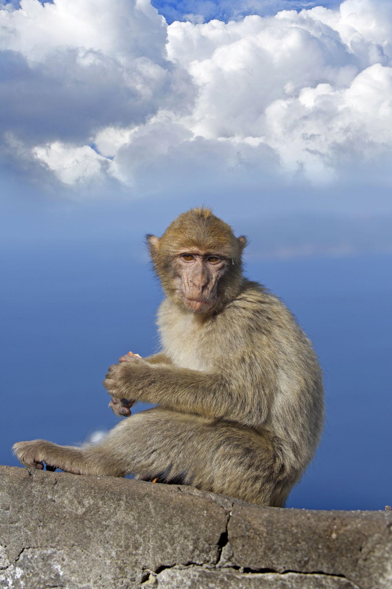 Beautiful stock photos of monkey,  Animal Wildlife,  Animals In The Wild,  Blue,  Cloud - Sky