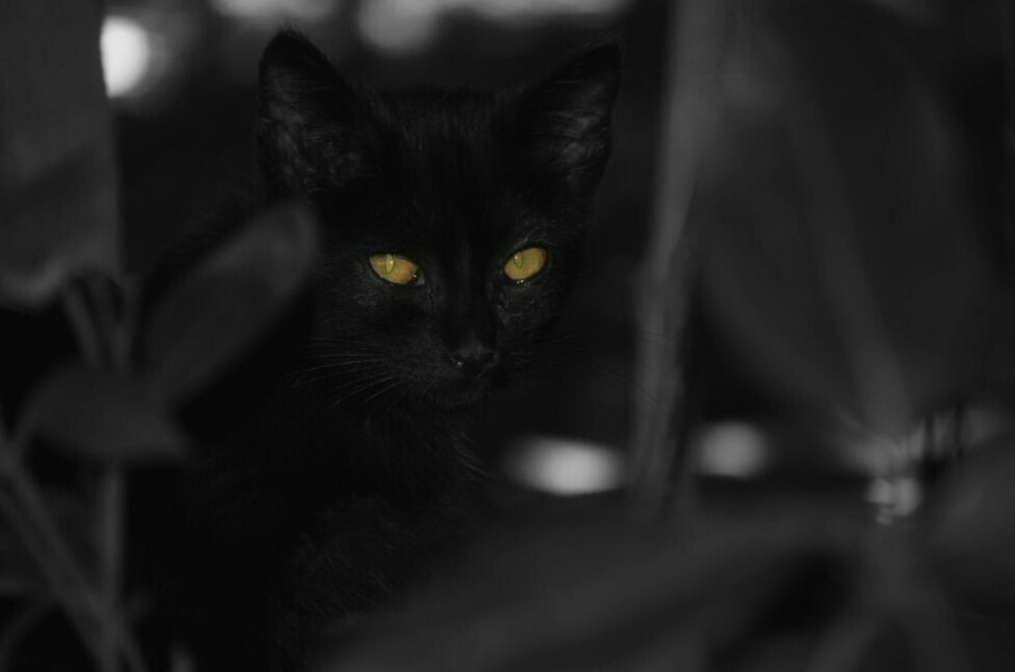 pets, domestic cat, domestic animals, one animal, animal themes, cat, mammal, feline, whisker, looking at camera, portrait, indoors, close-up, selective focus, black color, focus on foreground, staring, relaxation, alertness
