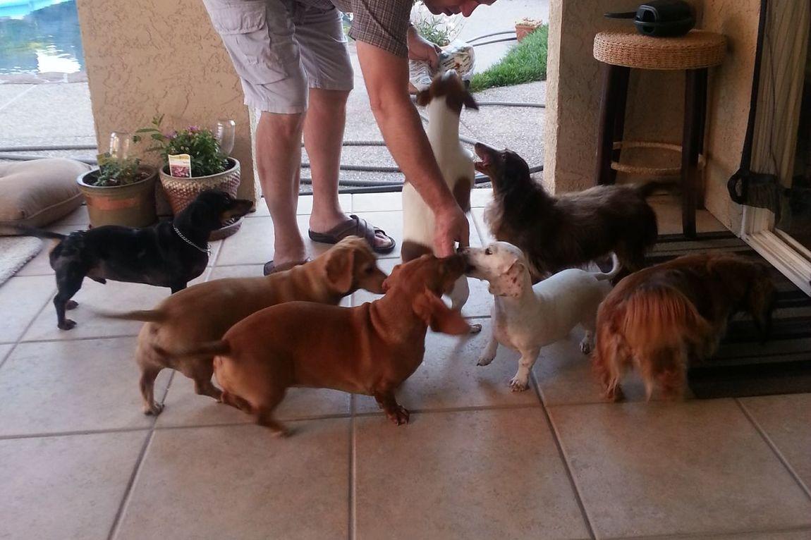 Pets Dog Domestic Animals Love Friendship Doxie Love Dachshund Dachshundlove Animal Duchsunds Animal Themes Duchshund Outdoors Daddy Shayla ♥️ Maya♥️ Pearl♥️ Tina♥️ Bako♥️♥️♥️ Molly ❤❤ Luna❤ Parson Russell Terrier Treats