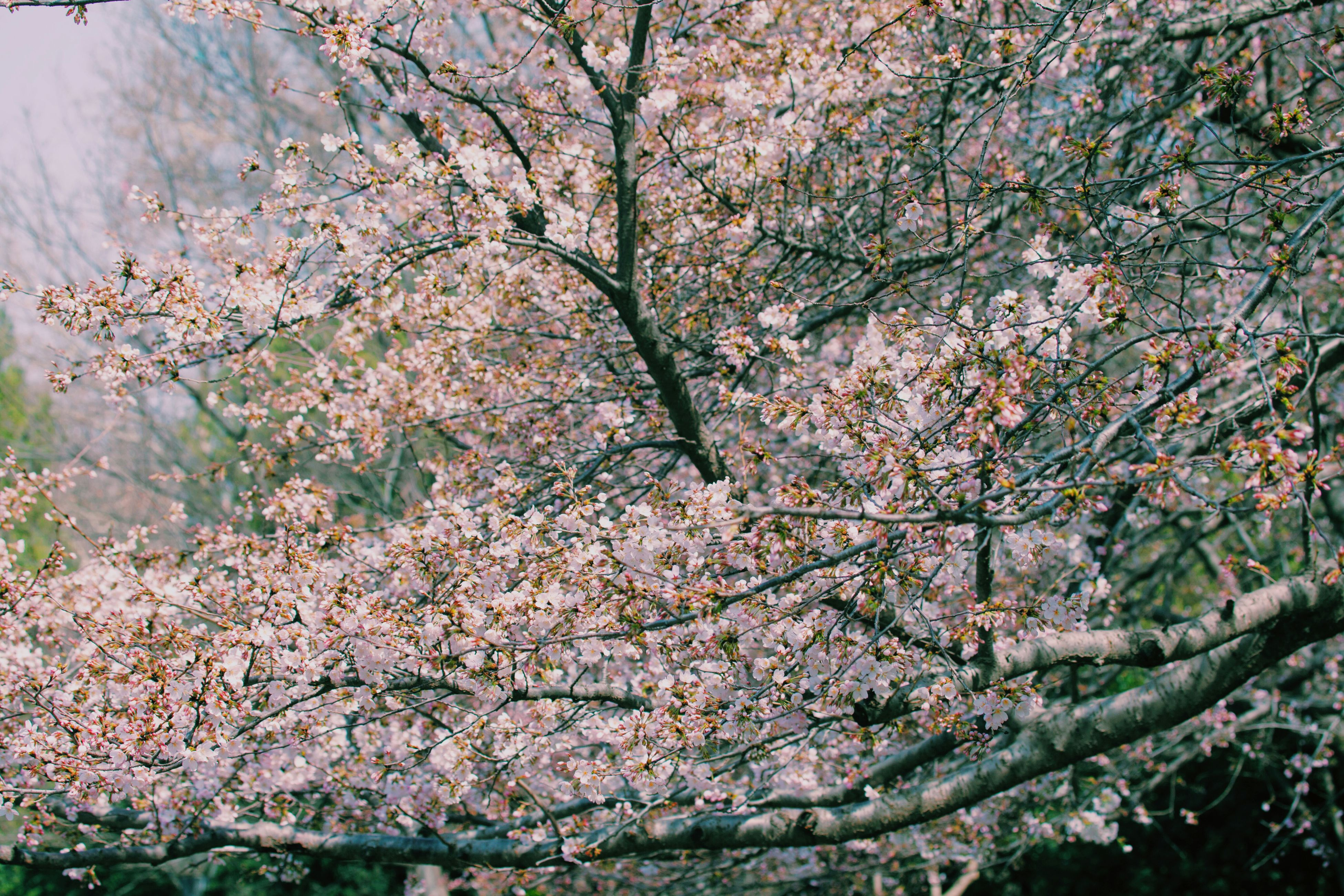 tree, branch, flower, growth, freshness, beauty in nature, nature, blossom, cherry blossom, cherry tree, fragility, springtime, low angle view, in bloom, tranquility, pink color, twig, fruit tree, day, outdoors