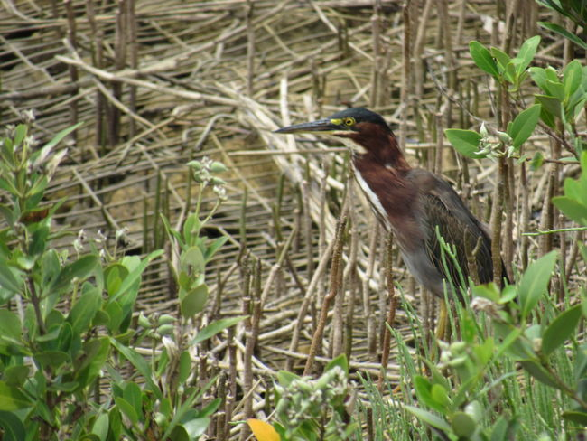 Green Heron Dried Wetland Green Plants Long Beak Long Legs Multi Colored Secretive Small And Stocky Solitary Moments Yellow Eyes