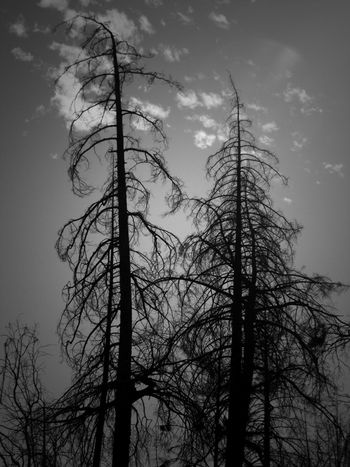 Tree Sky Cloud - Sky No People Low Angle View Branch Bare Tree Outdoors Day Forest Fire Burned Tree Valley Fire Wildfire Lake County, Ca Non-urban Scene Fire Tree Low Angle View Nature Burned Silhouette Nature