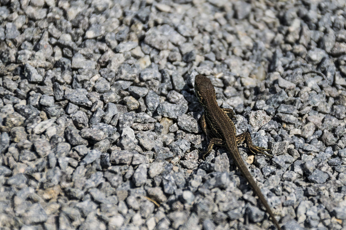 Animal Animal Themes Beauty In Nature Cute Life Life In Motion Lizard Nature Nature Photography Nature_collection No People One Animal Outdoors Reptile Reptiles Selective Focus Small Small And Swift Stone Taking Photos Tranquil Scene Tranquility Wildlife Wildlife & Nature Zoology