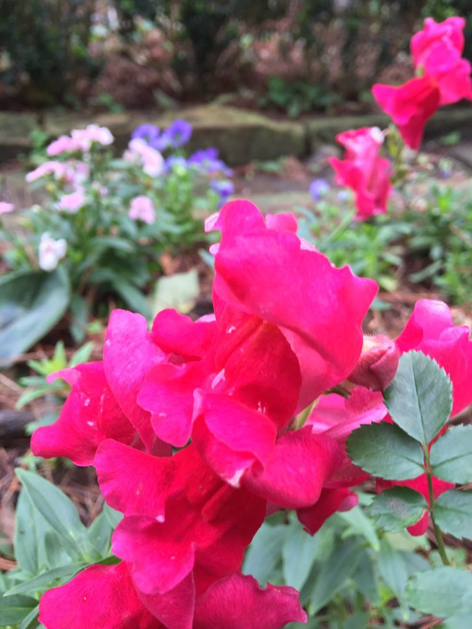 flower, nature, beauty in nature, plant, petal, fragility, growth, outdoors, pink color, day, flower head, no people, blooming, red, freshness, close-up, bougainvillea, petunia