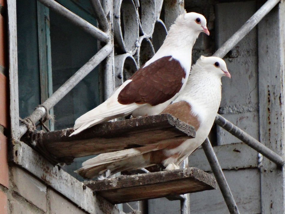 Beautiful stock photos of friedenstaube, Animal Themes, Beak, Bird, Close-Up
