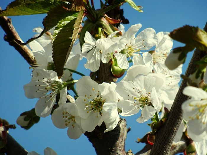 Tree Growth Nature White Color Branch Flower Sky Close-up Petal Blossom No People Low Angle View Springtime Day Clear Sky Outdoors Fragility Beauty In Nature Flower Head Freshness
