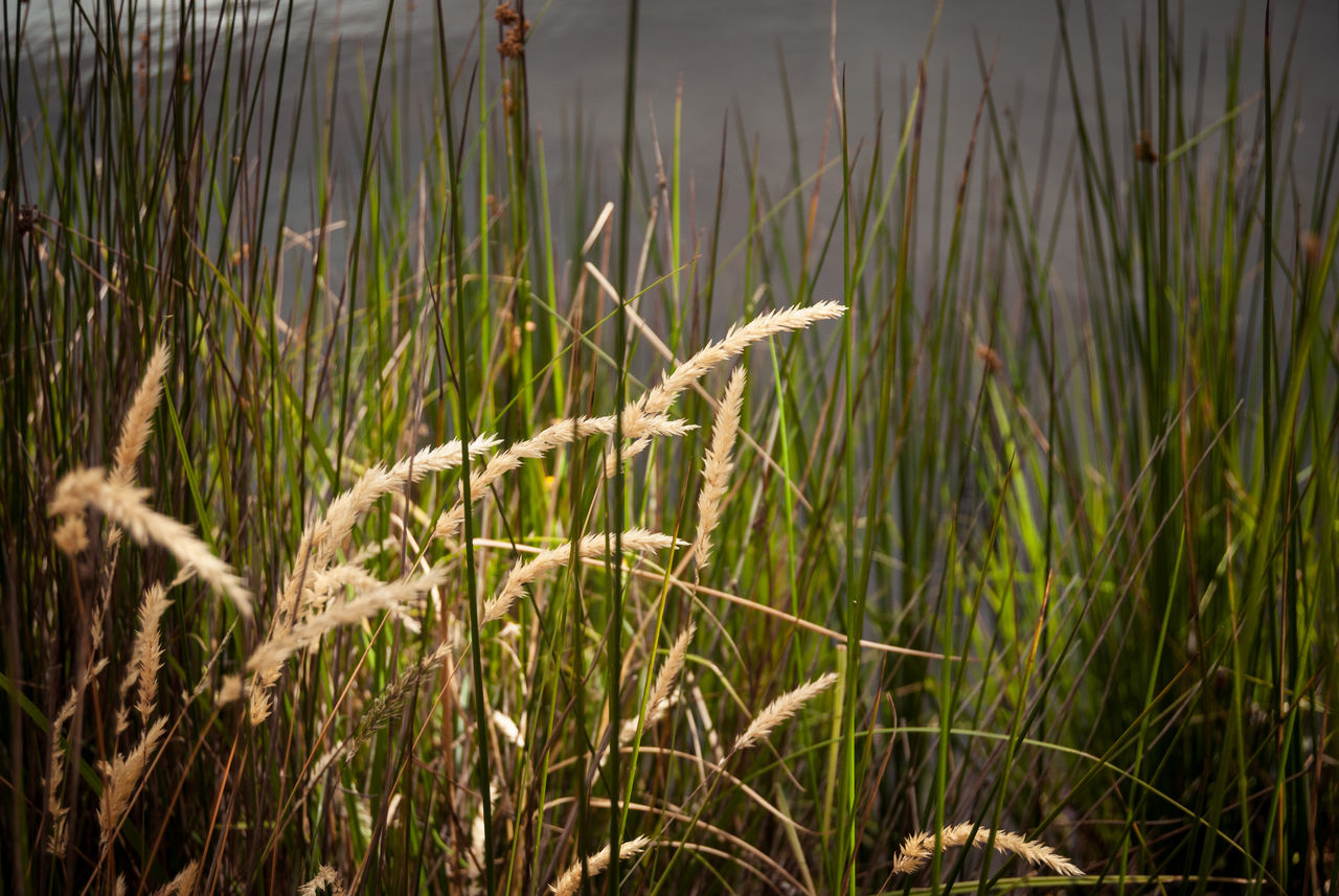 reeds Beauty In Nature Close-up Day Field Grass Growth Nature No People Outdoors Plant Reeds Reeds, Weeds, Marshland, Marsh, Water