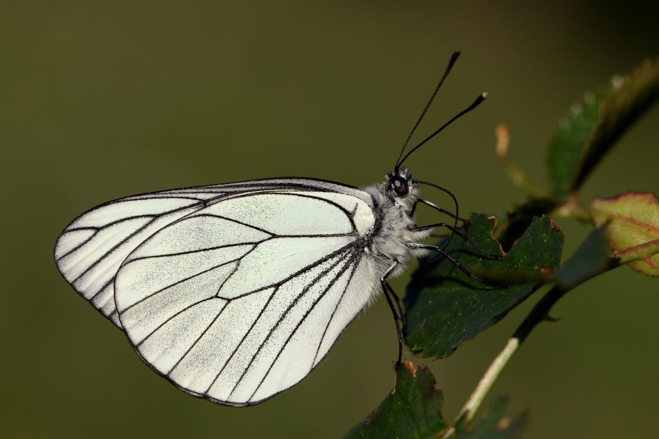 Black-veined White Butterfly Insects  Animals Macro White Nature Black-veined Close-up Closeup White Wings Antenna Detail Eye4photography